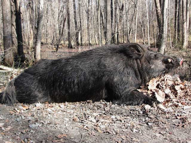 500-lb Boar Shot in North Carolina