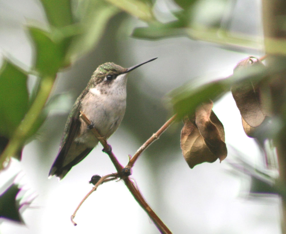 ruby throated hummingbirds essay My hummingbird essay  each spring i anxiously wait for the ruby-throated hummingbirds to arrive at our farm at the end of their long migration.