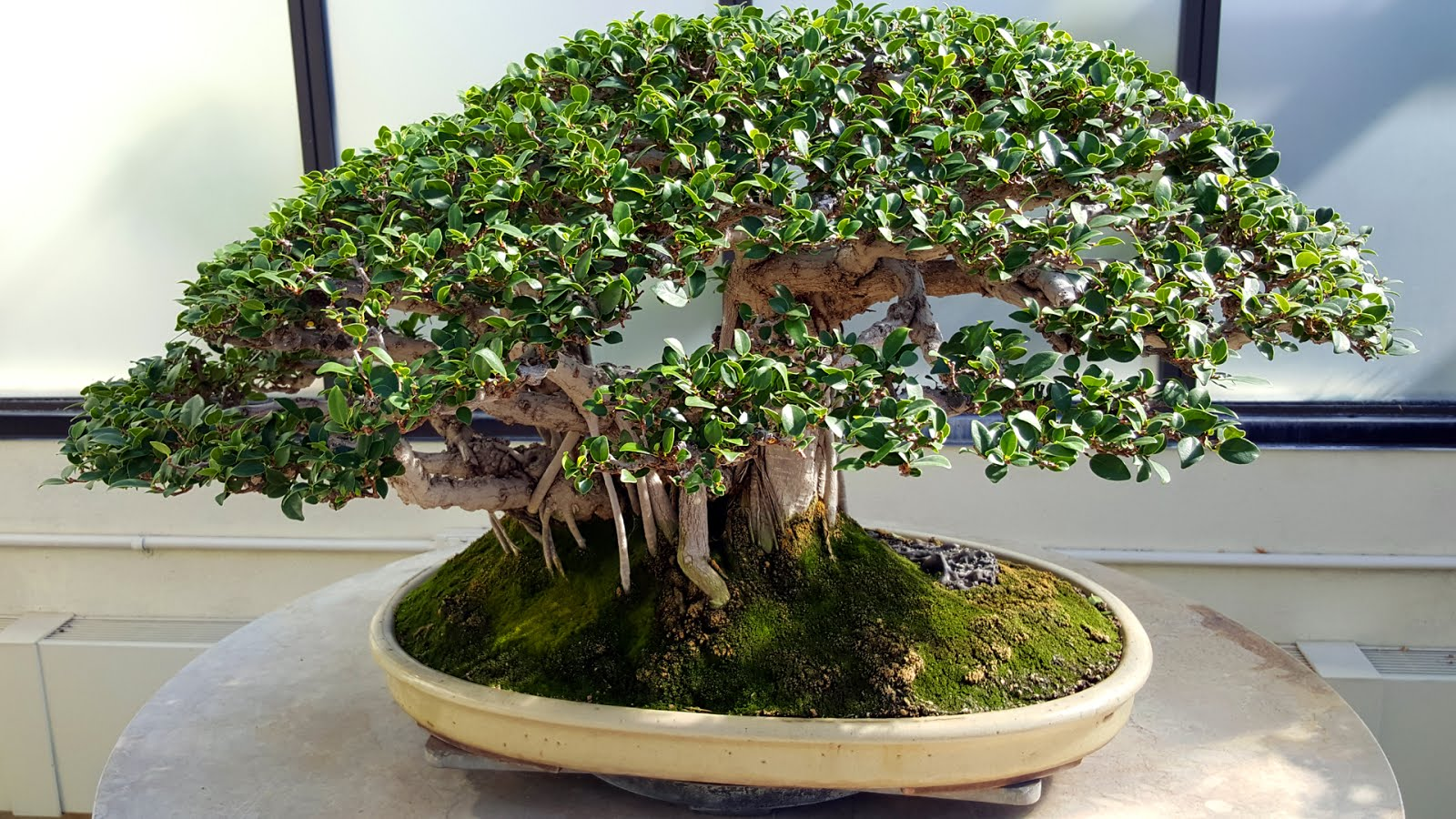 Bonsai Misadventures Banyan Style Ficus From Cuttings Wiring Time Tree National And Penjing Museum