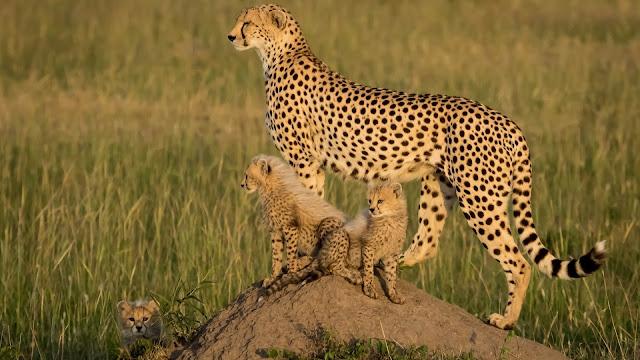 Mama guepardo con sus cachorros