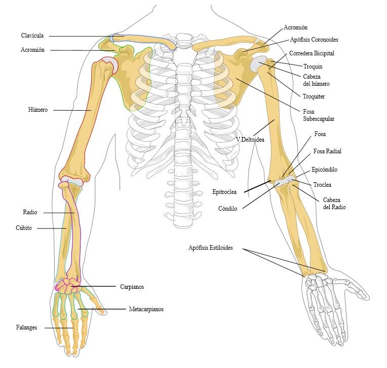 Anatomía Humana. Sistema musculo esquelético. Miembros superiores ...