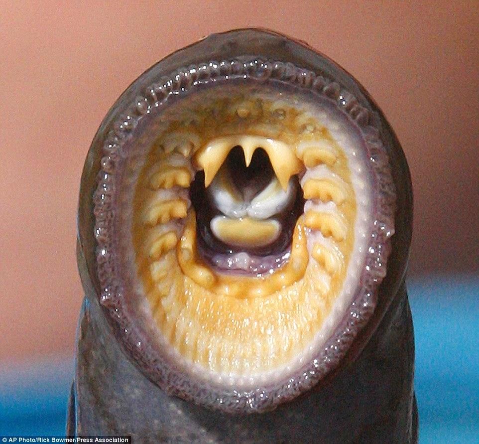 سمك الجلكي المهدد بالإنقراض صاحب المخلوقات الا فكية