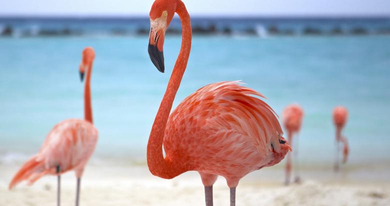 Aruba.com Flamingo Beach Renaissance Island Aruba