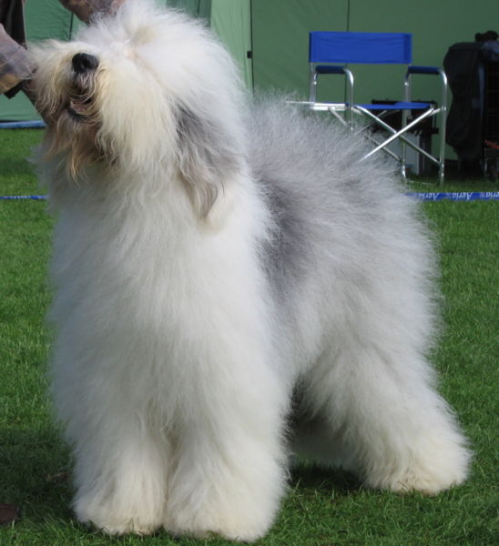 cute-dogs-breeds-pictures-1english-sheep-dog-breed.jpg