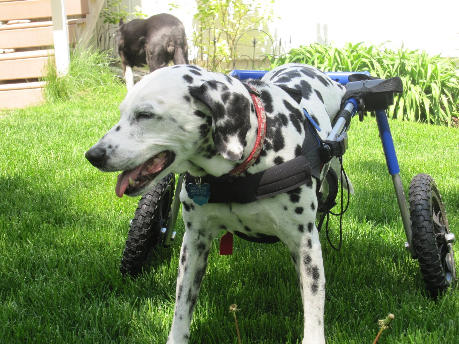 Dog Wheelchair Reviews Dog Wheelchair Rental Extended her life
