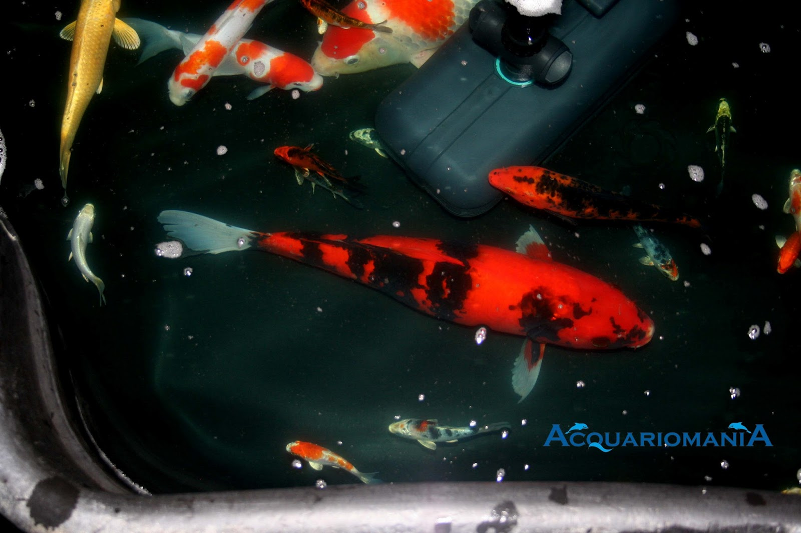 Acquariomania carpe koi for Carpe koi tarif