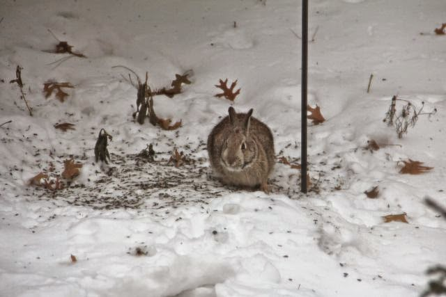 cottontail under bird feeder