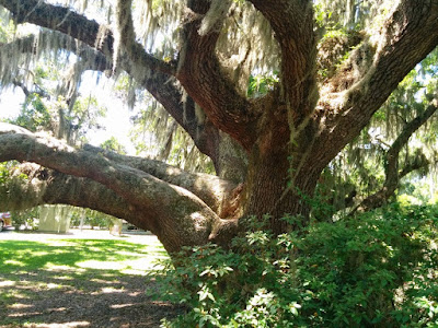 The thick trunk and branches of an oak, layered with spanish moss.