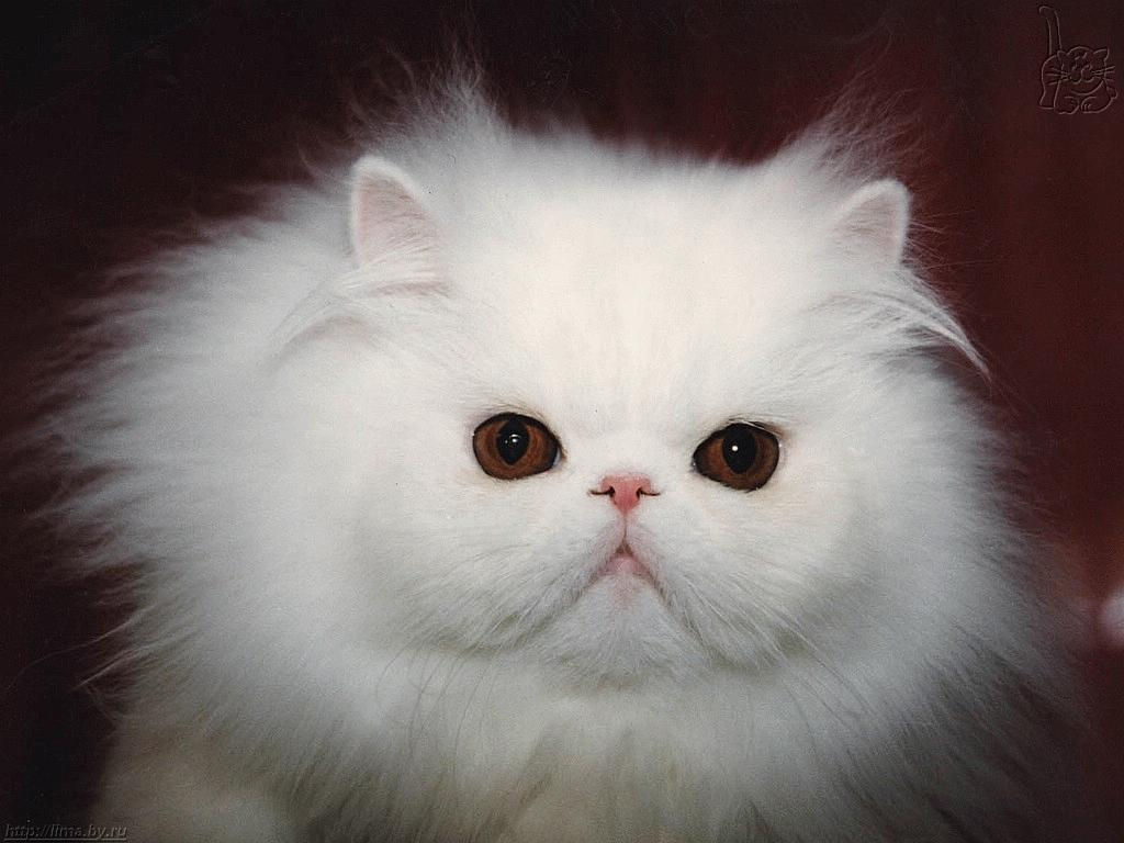 Cute White Cats Animals