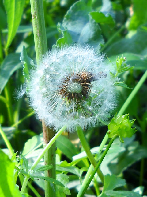 Dandelion Seed Head at White Rock Lake, Dallas, Texas
