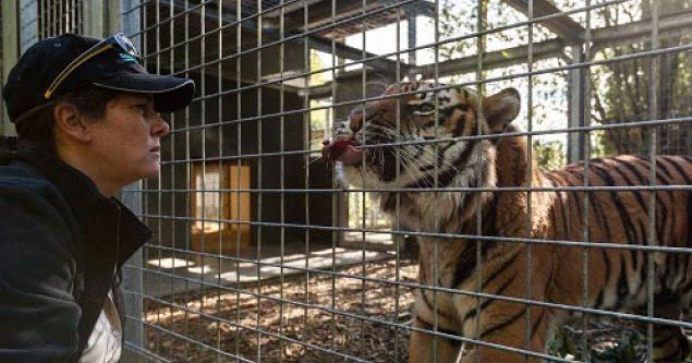 Strange News Headlines: Zookeeper killed by Sumatran male tiger: strangenewsheadlines.blogspot.com/2015/09/zookeeper-killed-by...