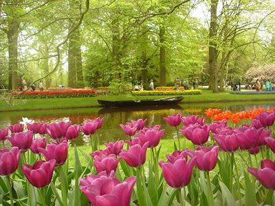 hoa tulip 18