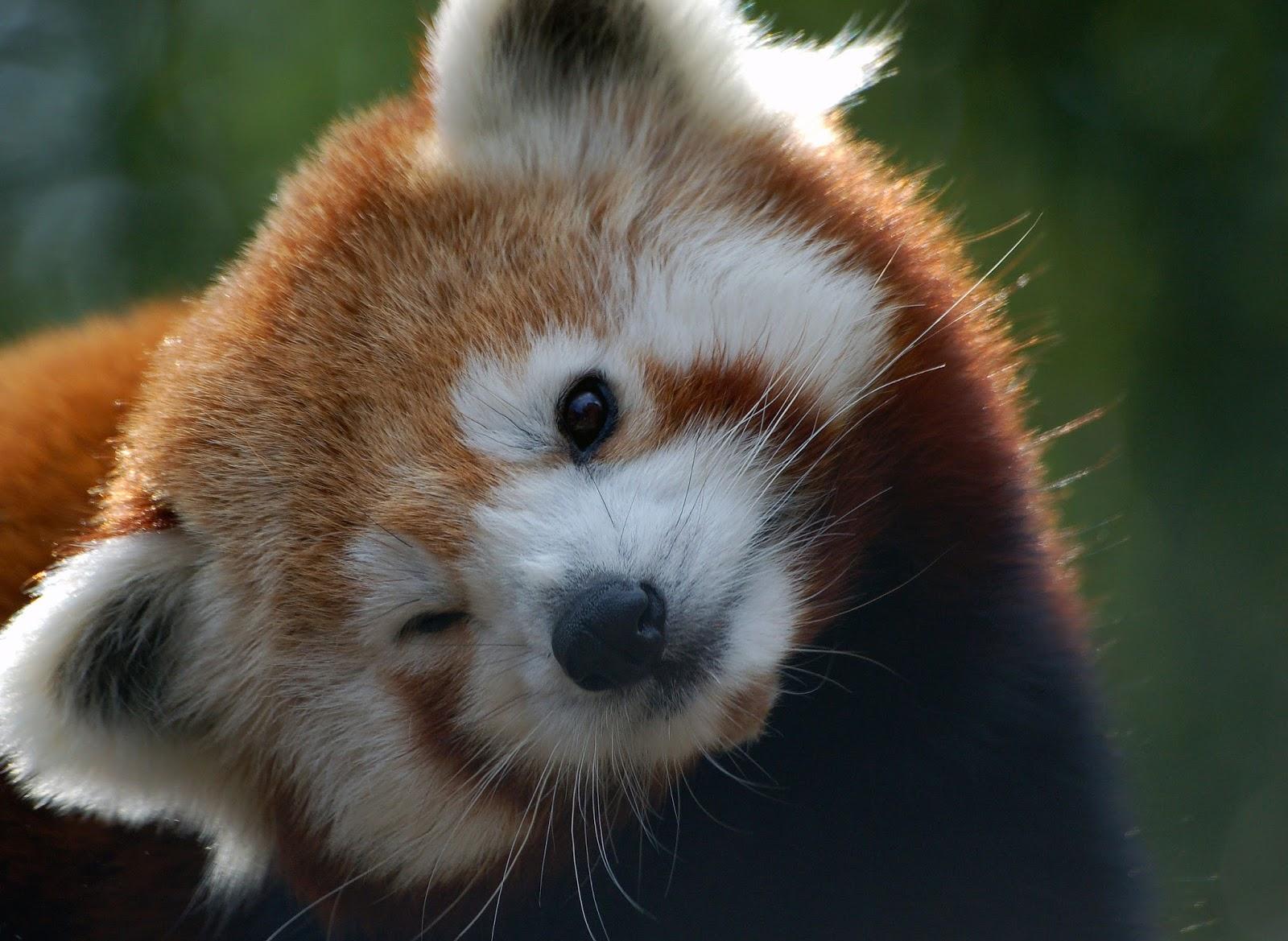 Save Nature Save Human: Red Panda