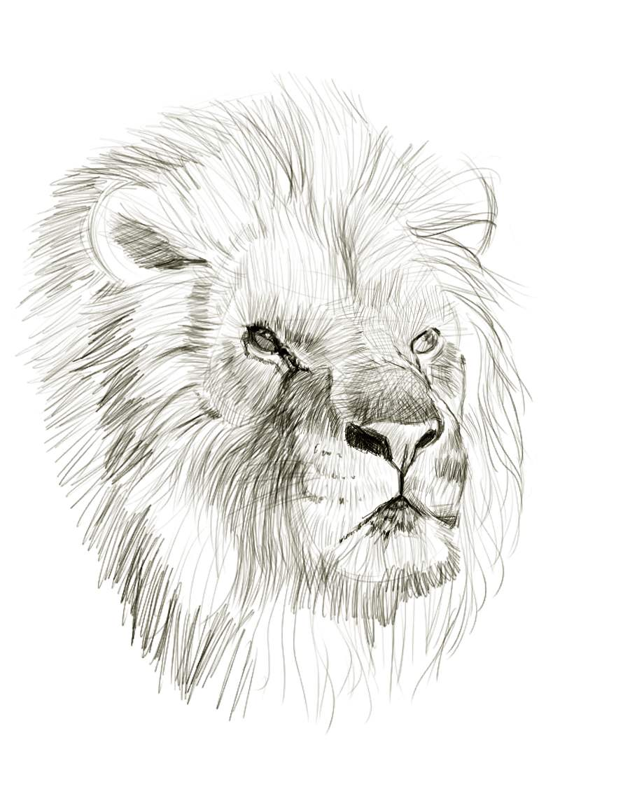 Line Drawing Lion : Lion line drawing