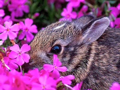 Rabbit smelling purple flowers