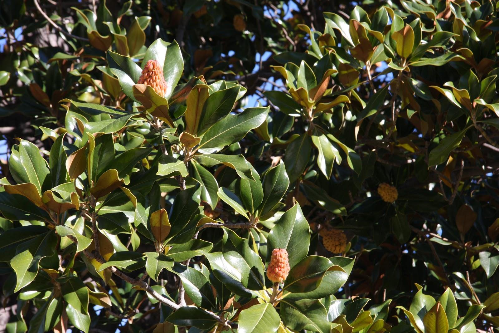 Madrid magnolio con frutos en oto o - Cuidados del magnolio ...