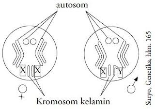 Susunan kromosom pada nukleus lalat buah.