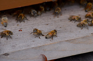Female honeybees guarding the hive