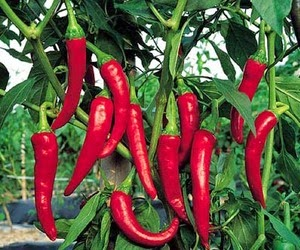 Benefits And Nutrition Of Capsicum Annum (African Bird Pepper) For Health