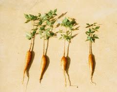 Xilopódios de plantas do imbuzeiro