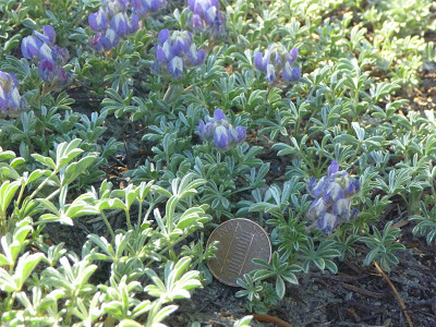 Mat of brewer's lupine (Lupinus breweri) with racemes of flowers