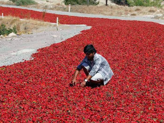 The road is entirely covered with massive amounts of red peppers, which are left along the road in order to dry out in the sun. The road is located in Turkey.