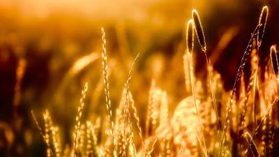 Wallpaper Theme Wheat