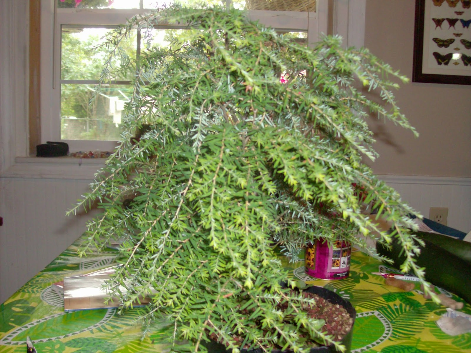 Bonsai And Horticulture Hemlock