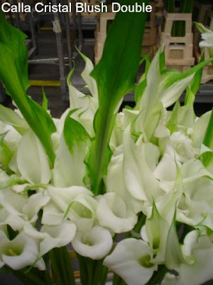 Calla Cristal Blush Double
