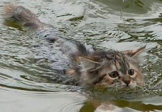 mengapa kucing takut air, adakah kucing yang tidak takut air.?