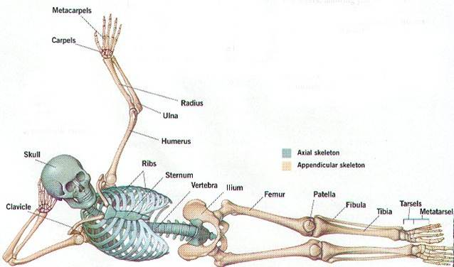 The Skeletal System Bones And Joints Welcome To Mrs Sandovals