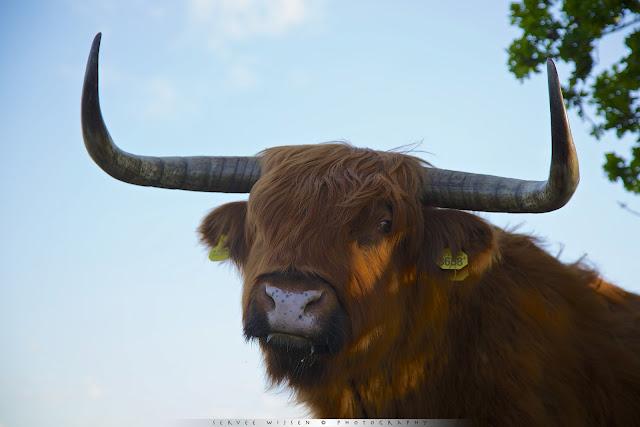 o'n Schotse Hooglander met z'n grote hoorns is best indrukwekkend vanuit zo'n laag standpunt - A Scottish Highlander with its large horns is quite impressive from a low point of view