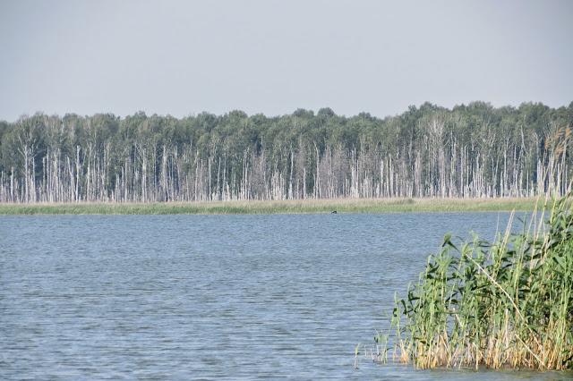 Берёзовый лес на противоположном берегу озера Яу-Балык