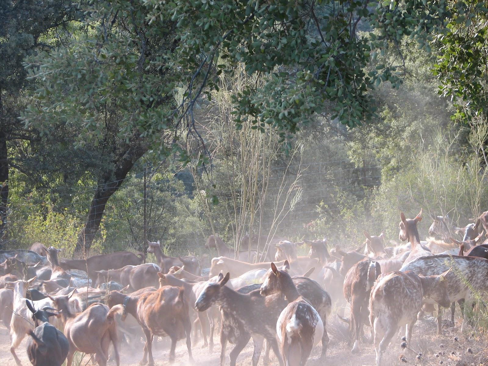 estas son las cabras del joven cabrero juan elvira que realiza su ...