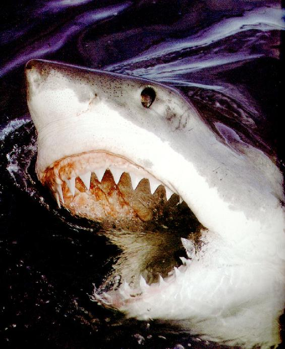 Shark Picture Gallery Best Blog WallpaperLikjen Create