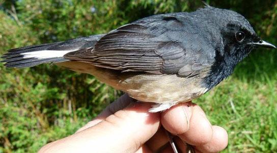 Download Mp3 Suara Kicau Burung Blackthroat Gacor