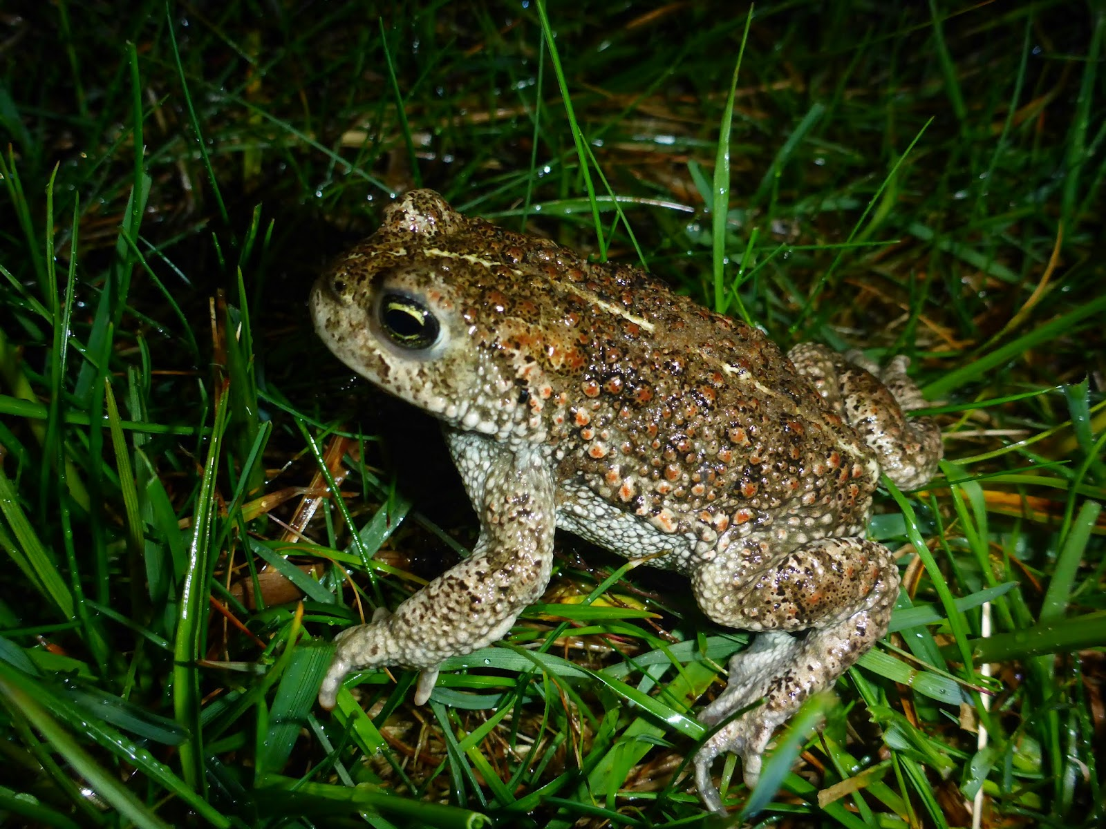 natterjack toad and common relationship