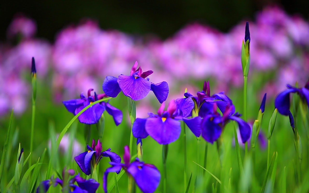 Iris Summer Flowers Wallpaper HD
