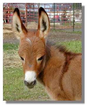 ��� ������ ���� ���� ���� ����� ������ ���� ������ ���� ����� 2436-sorrel-donkeys-