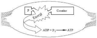 sintesis ATP jadi energi