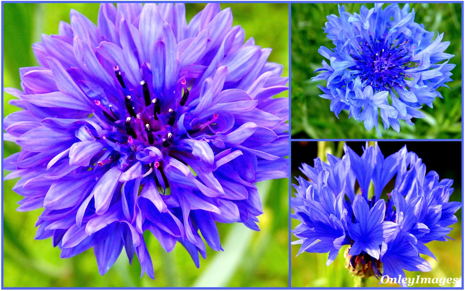 What do you know about cornflowers