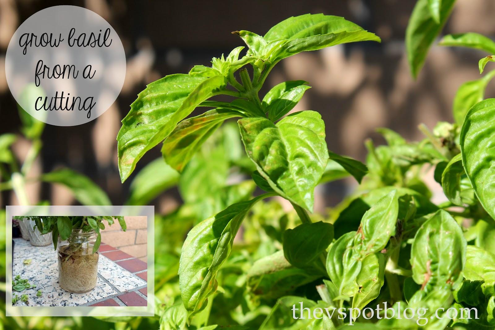 easy garden tip planting basil from cuttings the v spot. Black Bedroom Furniture Sets. Home Design Ideas