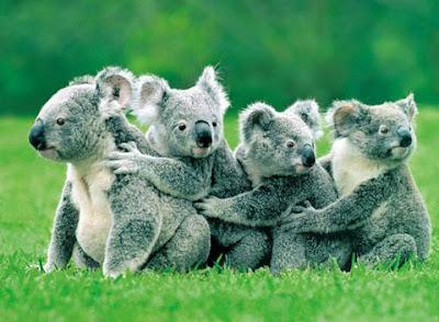 foto: koala