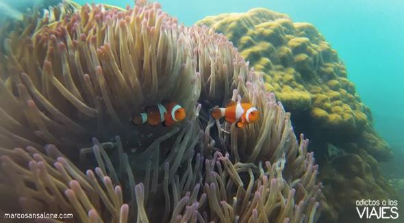 peces payaso en Perhentian Kecil