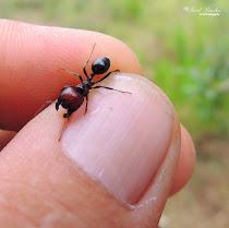 Hormiga (formícidos (Formicidae))