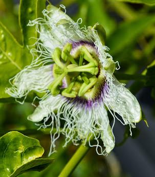 Primeras flores de Maracuya