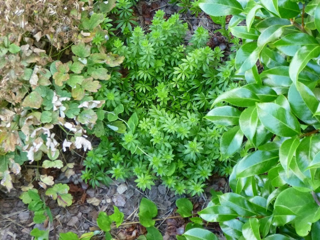 Galium odoratum, Sweet Woodruff in early July, nestled between a tattered aquilegia and a glossy camellia