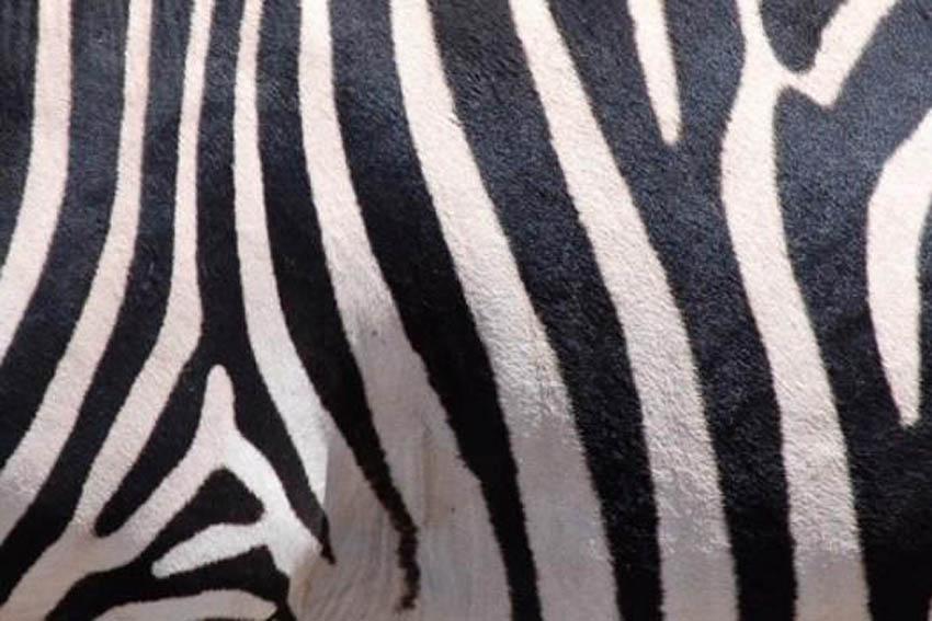 Fondo de piel de cebra - Imagui