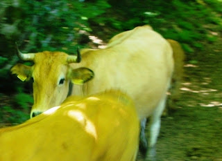 Caso, ruta a la cascada del Mongayu, vacas en el sendero