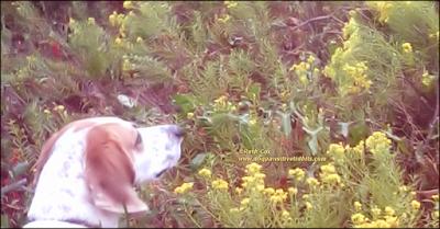 My Dog Valentino in Goldenrod Wildflowers
